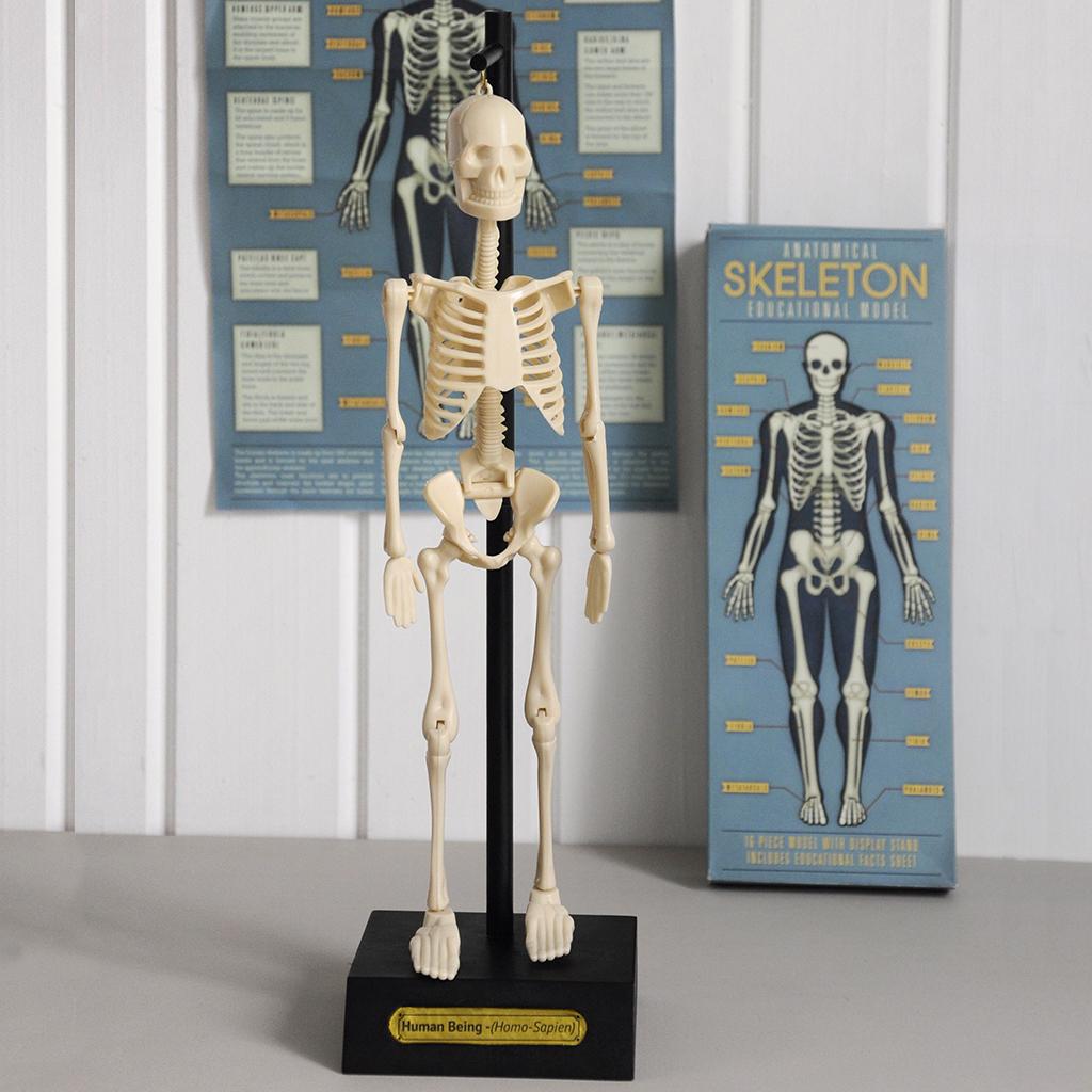 Anatomical Skeleton Model | Rex London (dotcomgiftshop)